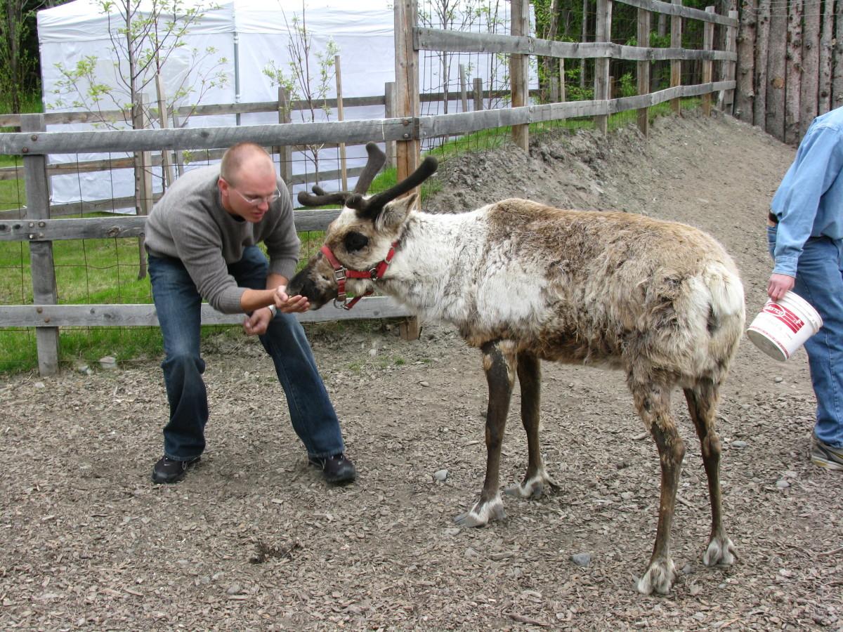 Feeding reindeer.