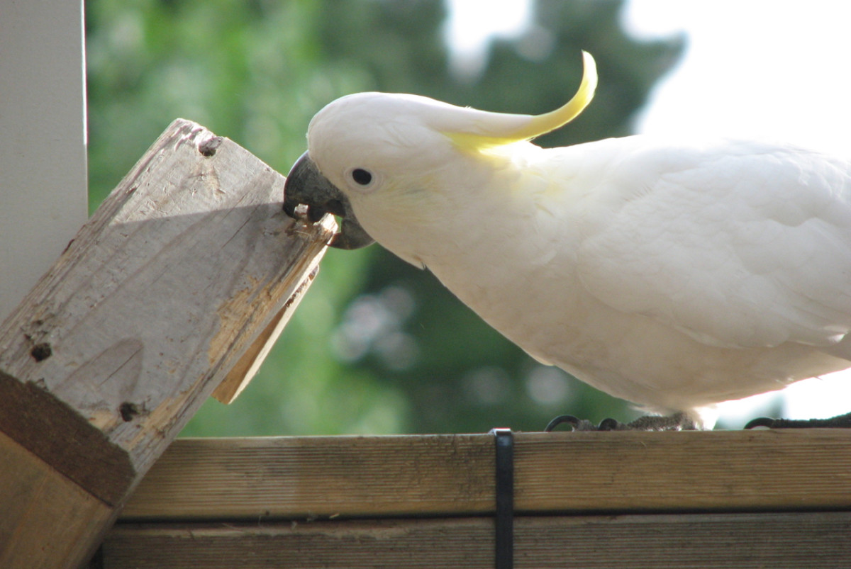 A cockatoo playing with one of the 'toys' I made to keep the amused (and stop them from ripping apart the verandah). Melbourne, Australia.