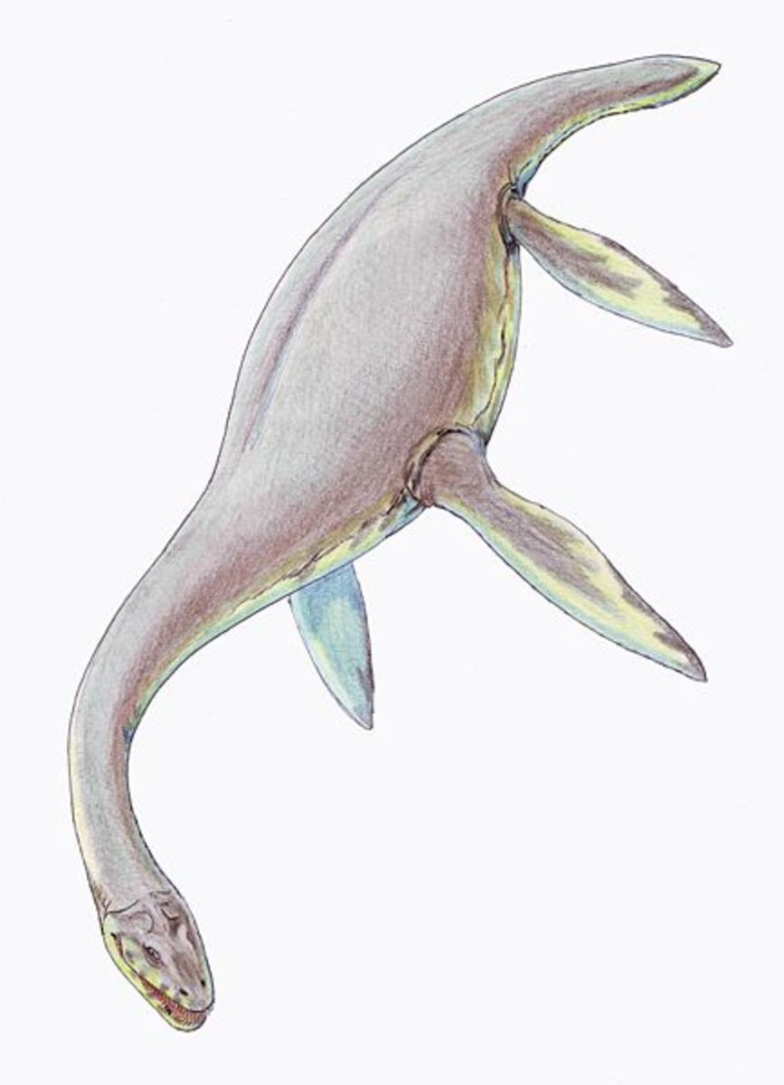Cryptoclidus was a medium sized plesiosaur, with long, fine teeth designed to catch slippery prey such as fish and squid.