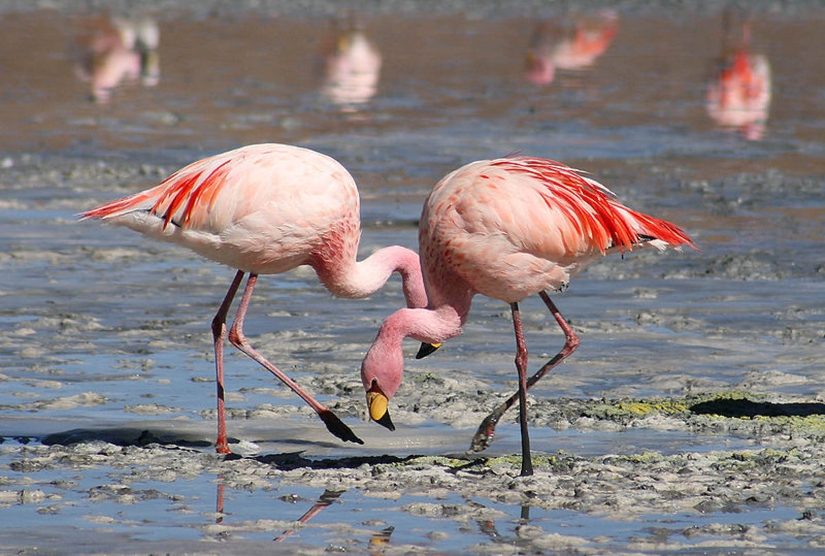 Flamingo (Phoenicoparrus sp)