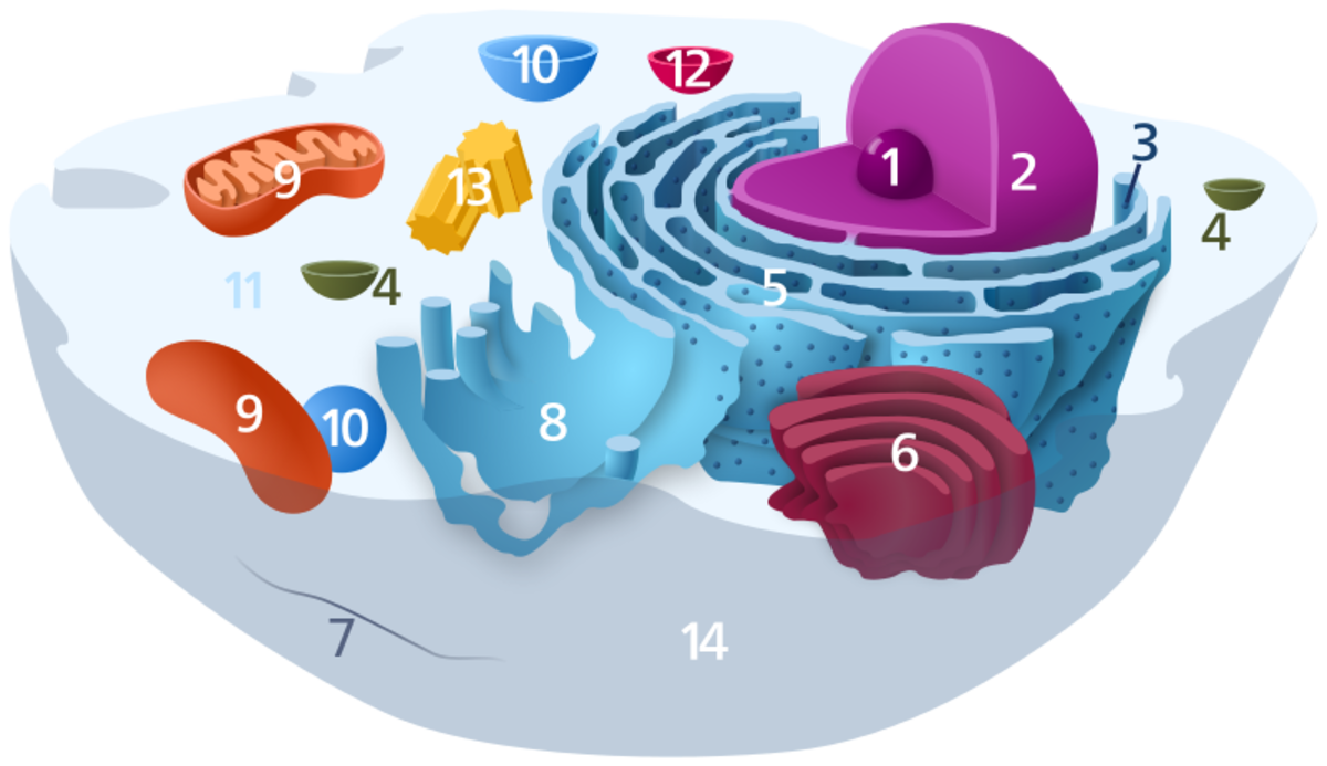 Intracellular fluid is the liquid inside cells that gives it shape and also contains all the cell's components (11). Note the cell nucleus (2) and the outer cell membrane (14) through which nutrients pass in and wastes are carried out.