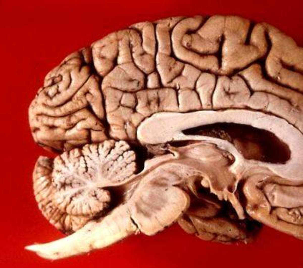 The many folds of the brain are filled with cerebrospinal fluid (CSF) to keep it cushioned, fed, and to clean out wastes. The CSF replaces itself completely 3.7 times per day.