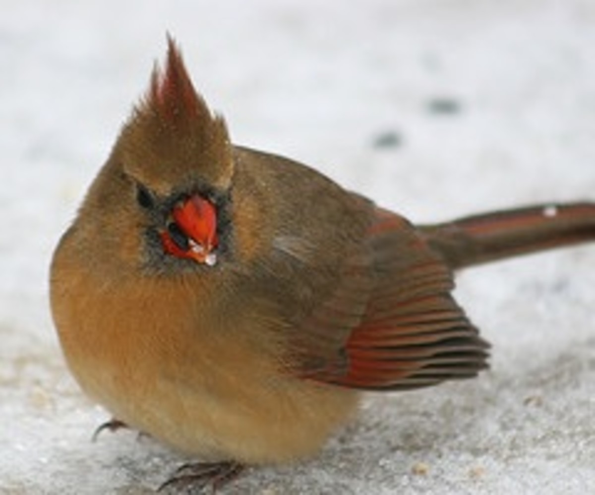 Female cardinal foraging in the snow for seeds.