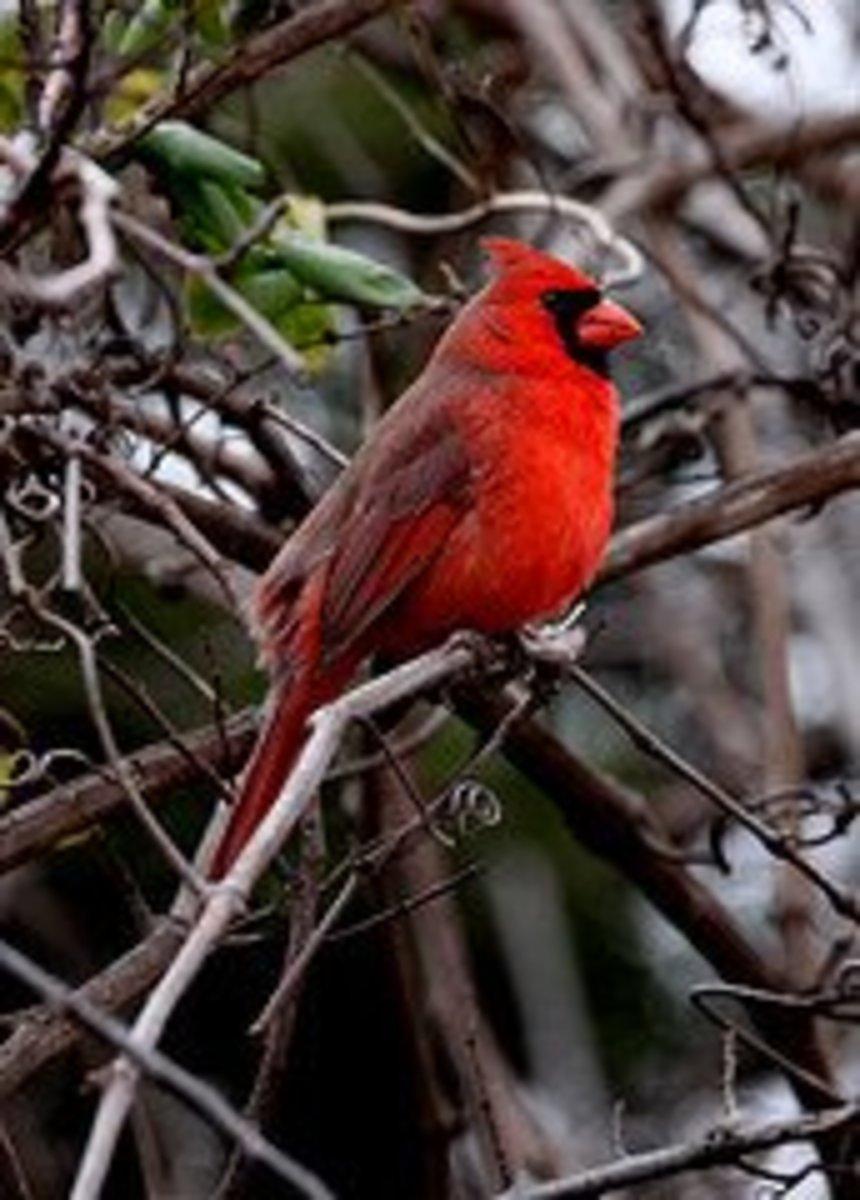 Male Northern Cardinal (Cardinalis cardinalis) in tangled grape arbor,  an ideal addition to your backyard Cardinal habitat.