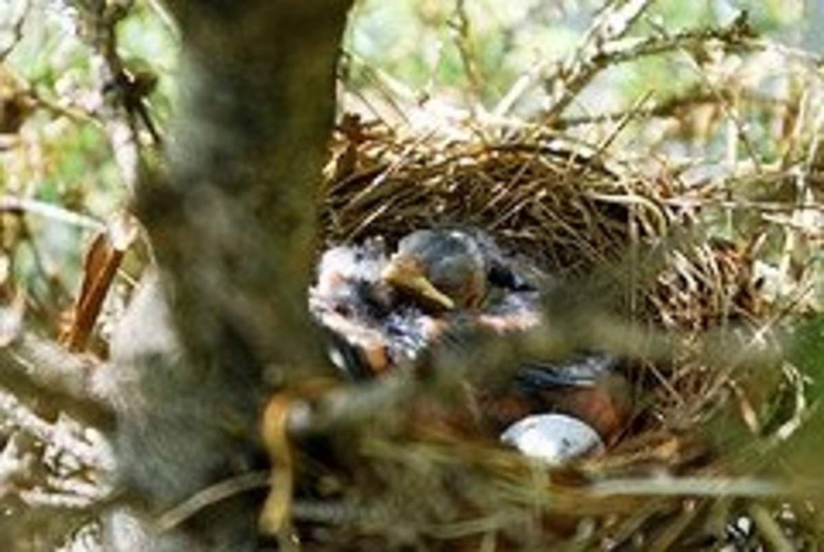 Cardinal's nest with nestlings awaiting Mama or Papa Cardinal's return.
