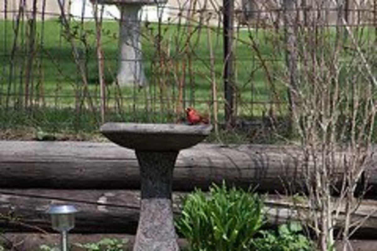 Cardinal at the bird bath.