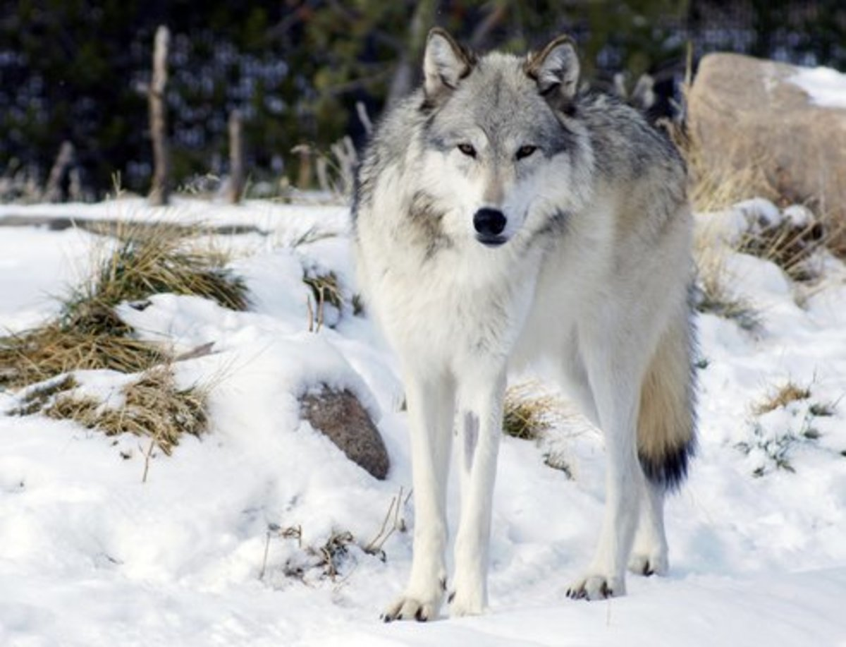 Wolf 832F. She was shot just outside of her Yellowstone National Park range.