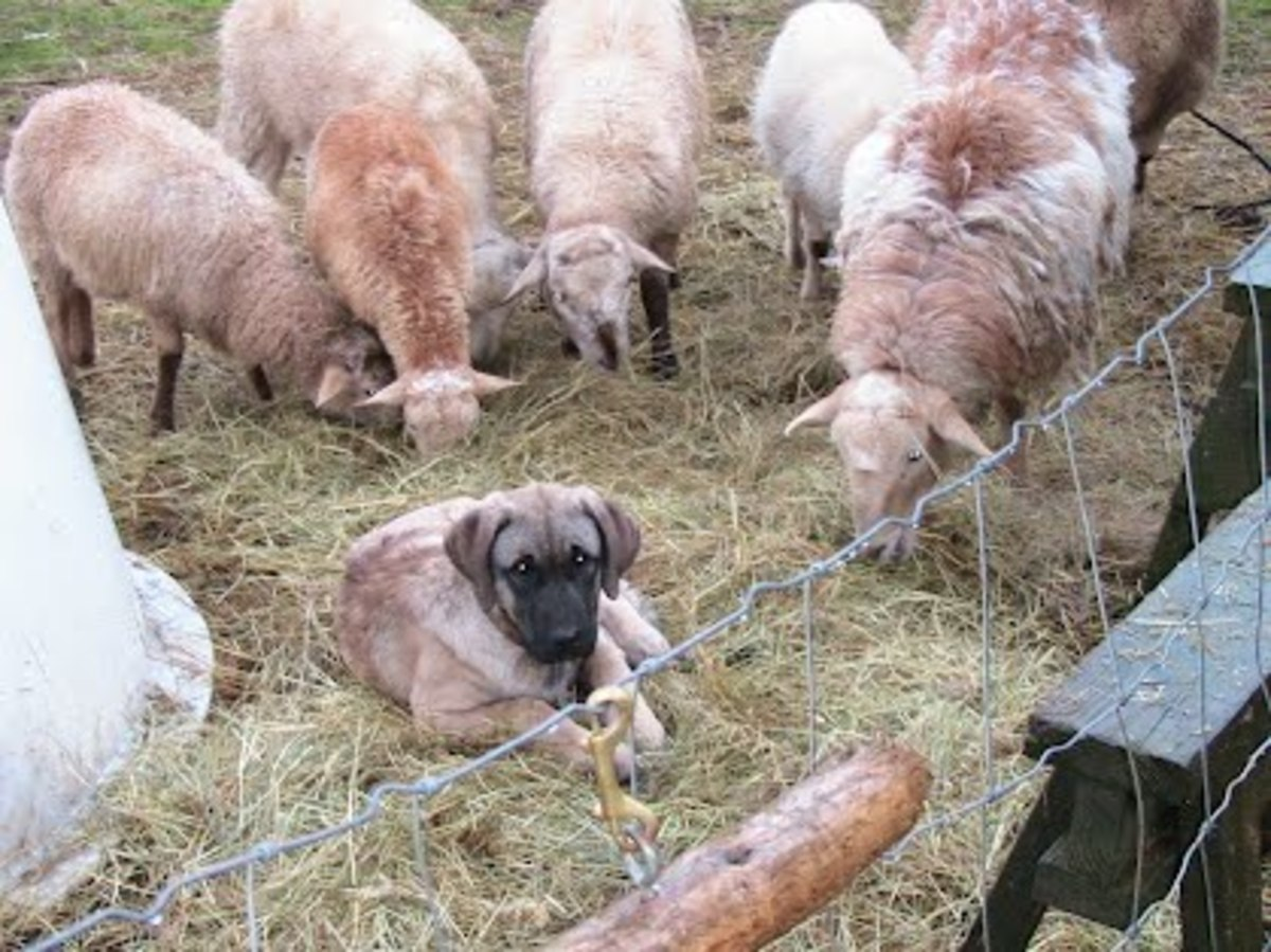 Here is a Kangal and his charges. Fence is a good idea in case wolves have moved into their territory.