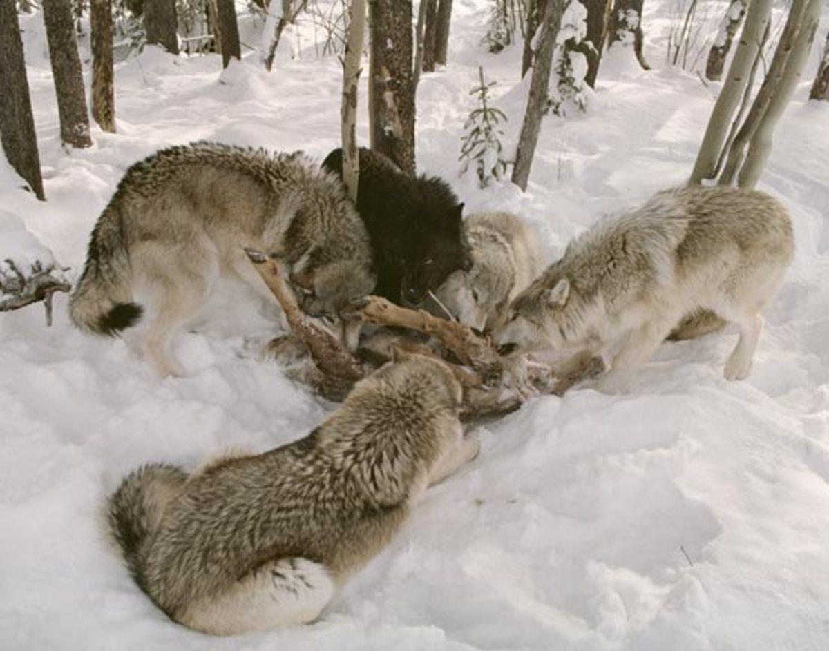 Wolves feeding their natural prey.