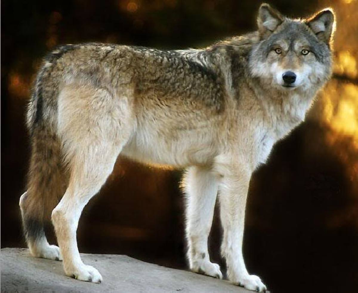 How dogs can protect wolves and livestock alike.