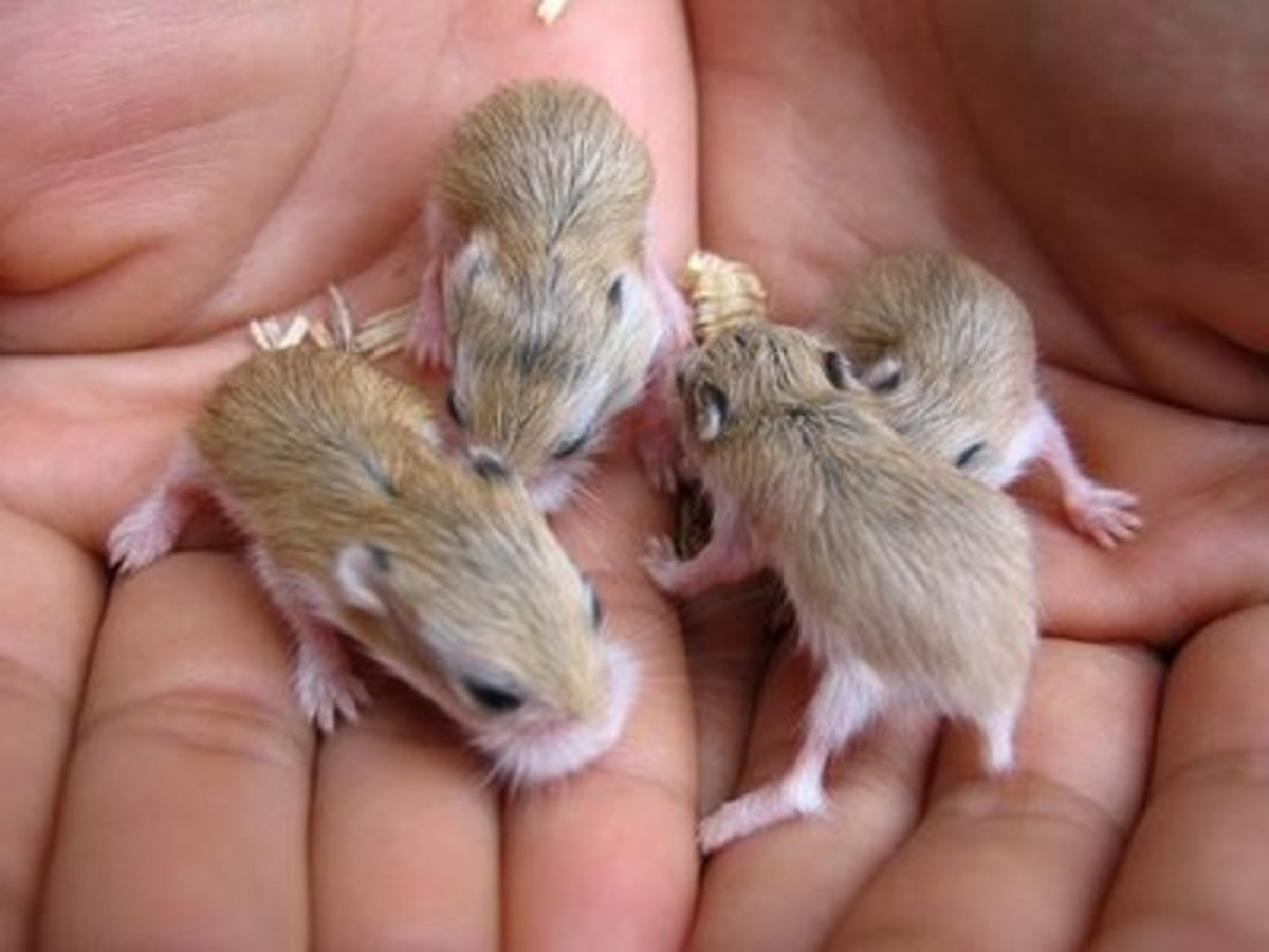 You have a nest of adorable baby hamsters. Now what do you do with them. You can run an ad in a newspaper but be careful who you give them to.