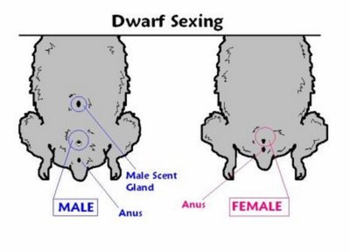 Above is a diagram of what dwarf hamsters look like.