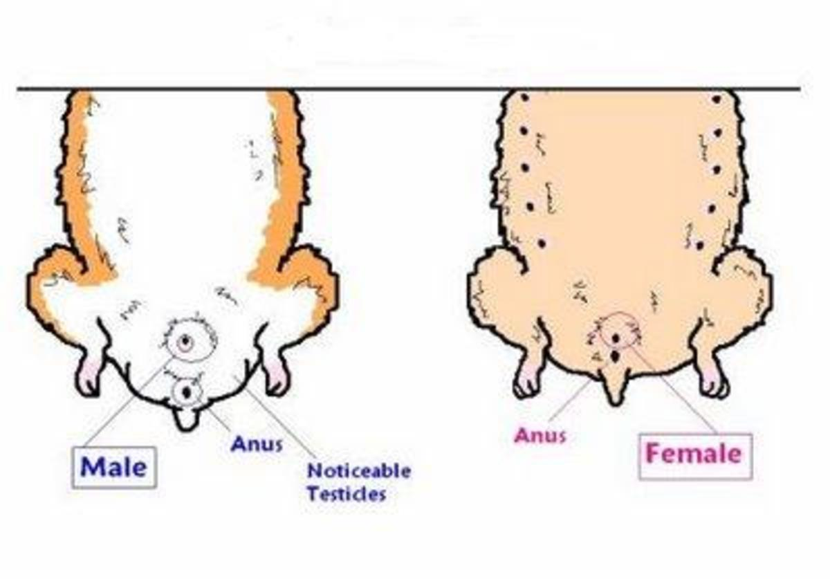 Female Hamsters have nipples while males do not. At about four weeks of age you should see a scrotum and testicles on a male hamster.