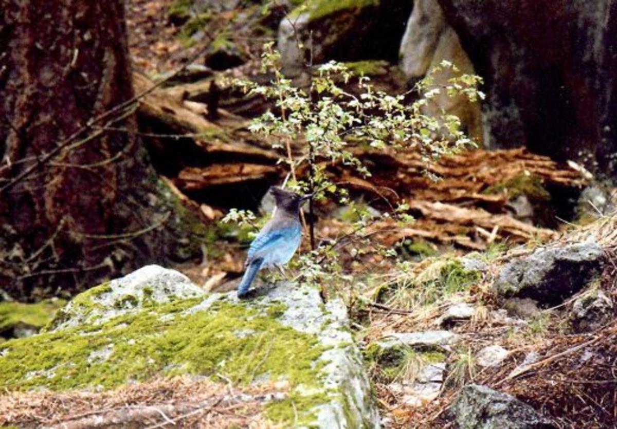 Steller's Jay bird in Yosemite National Park