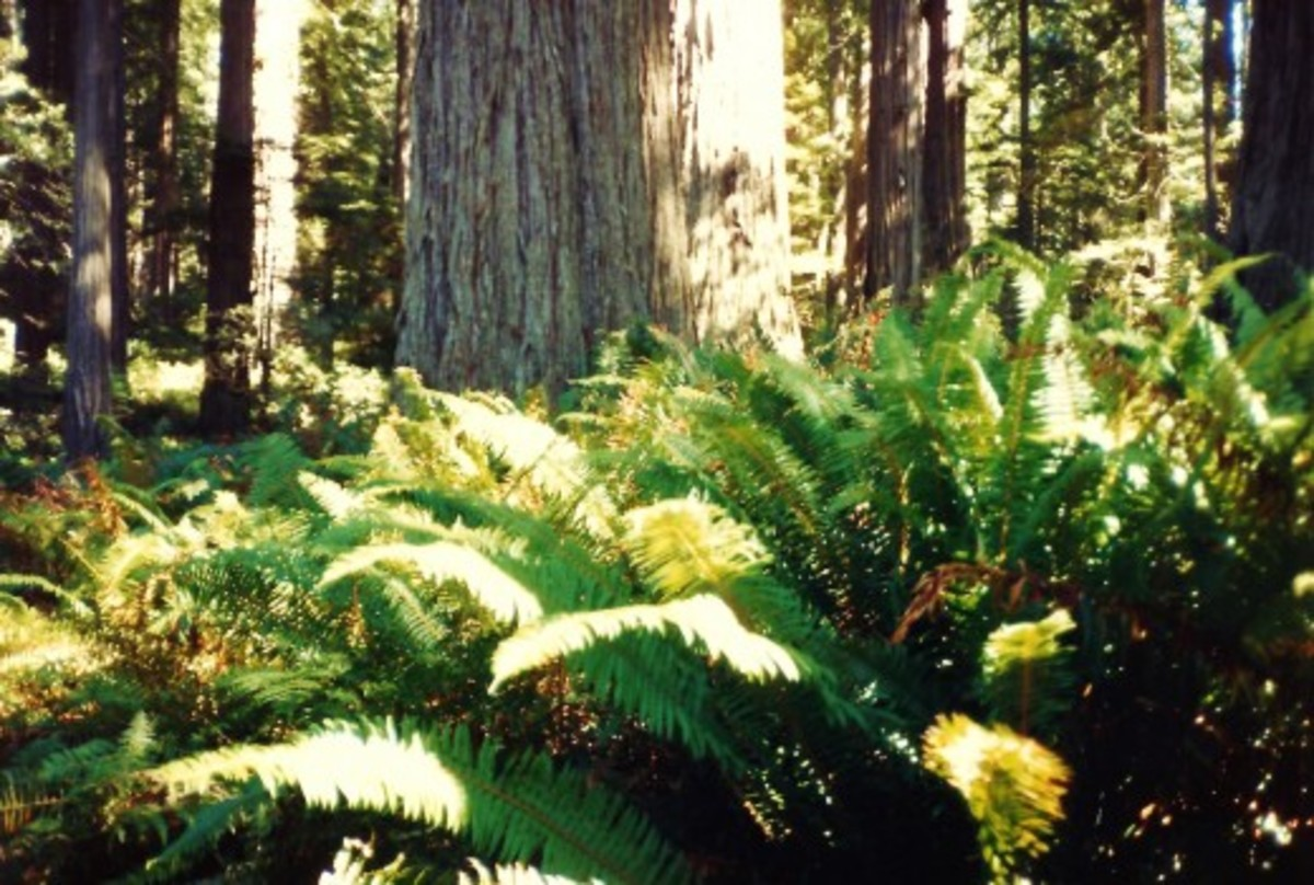 Redwoods and the ferns growing beneath these towering trees.