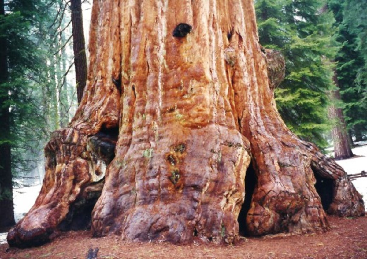 General Grant Tree in Kings Canyon