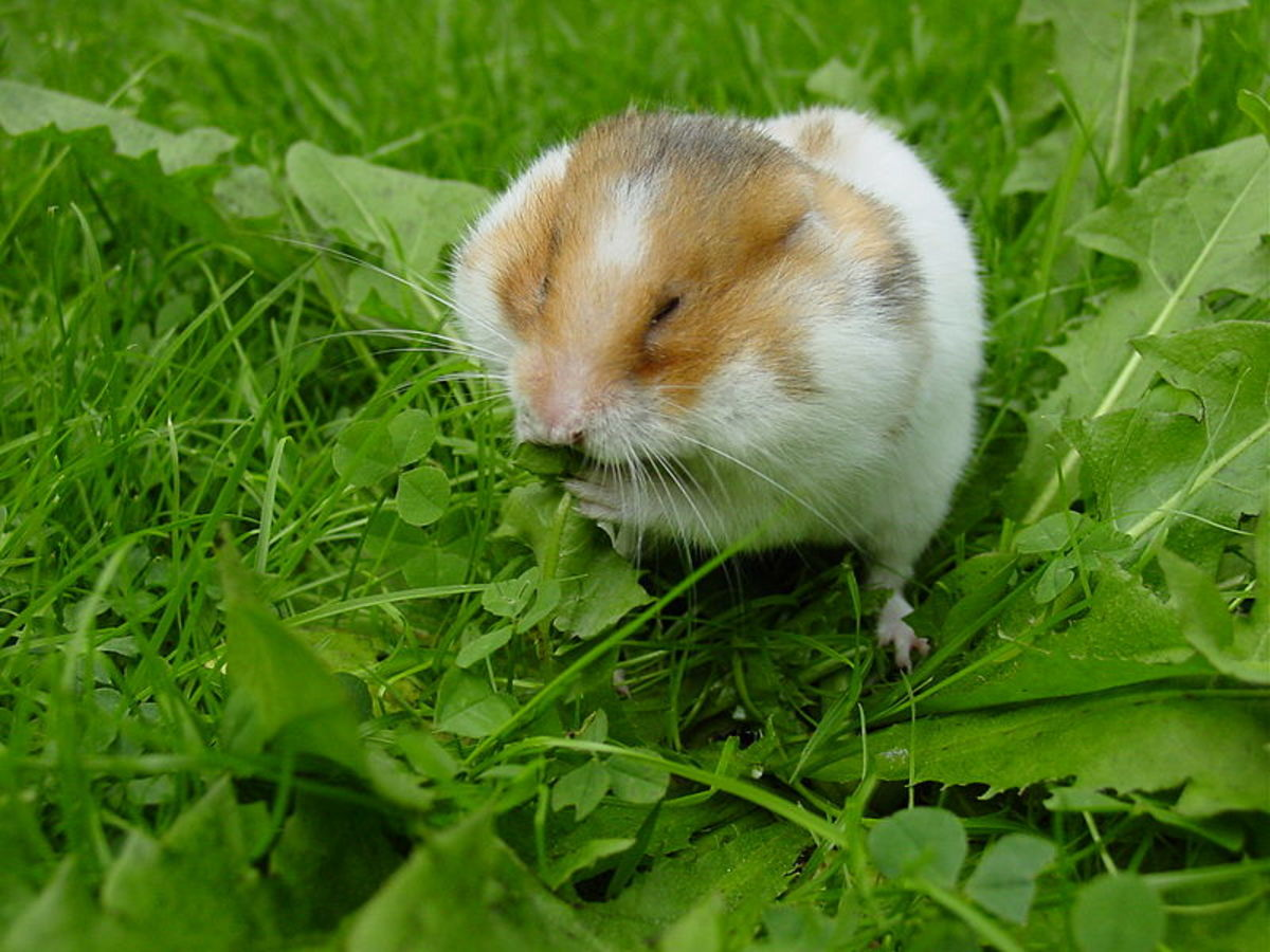 Syrian Hamster stuffing his jaw pouches with dandelion greens.