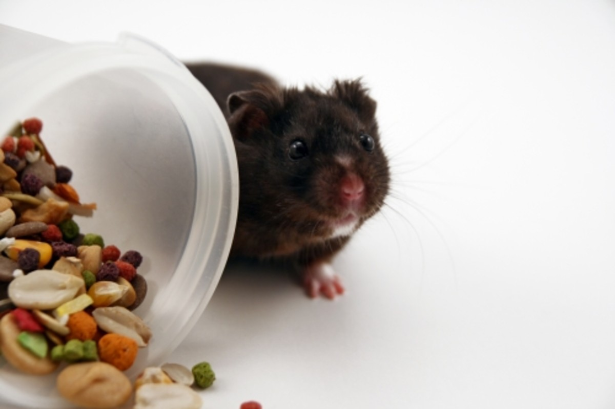 Here's a real cute Black Bear Hamster peeking out from behind a bowl of food. Black Bear Hamsters are a color phase of Syrian Hamsters.