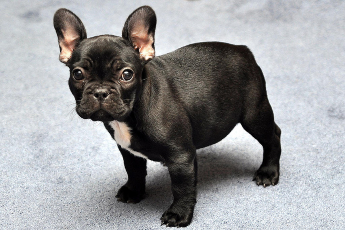 Black and white French Bulldog puppy.