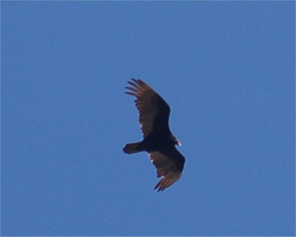 Turkey vulture wings have a distinctive shape and appear to be pointing backward while flying.