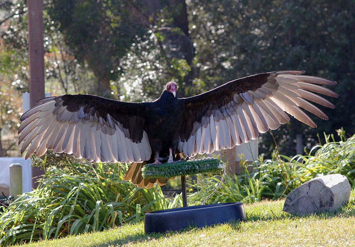 The markings on turkey vulture wings are distinctive and make it easy to tell them apart from black vultures.