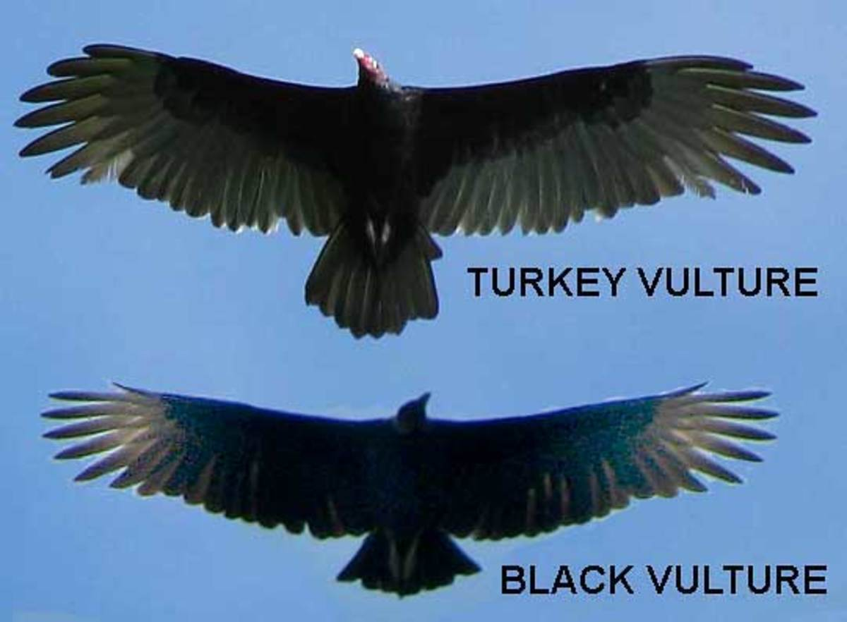 Markings and wing shape make turkey vultures and black vultures easy to tell apart.