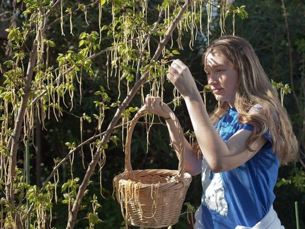 Spaghetti Tree Harvest