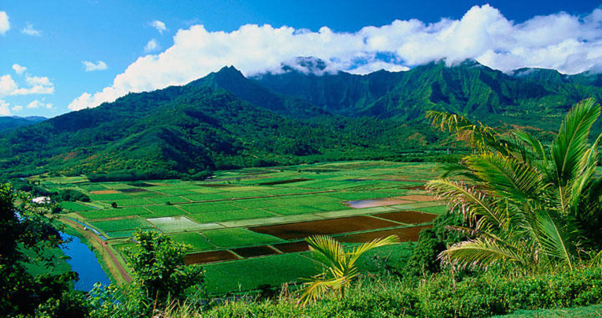 Hanalei Valley, Kauai is known today for its rich taro fields.
