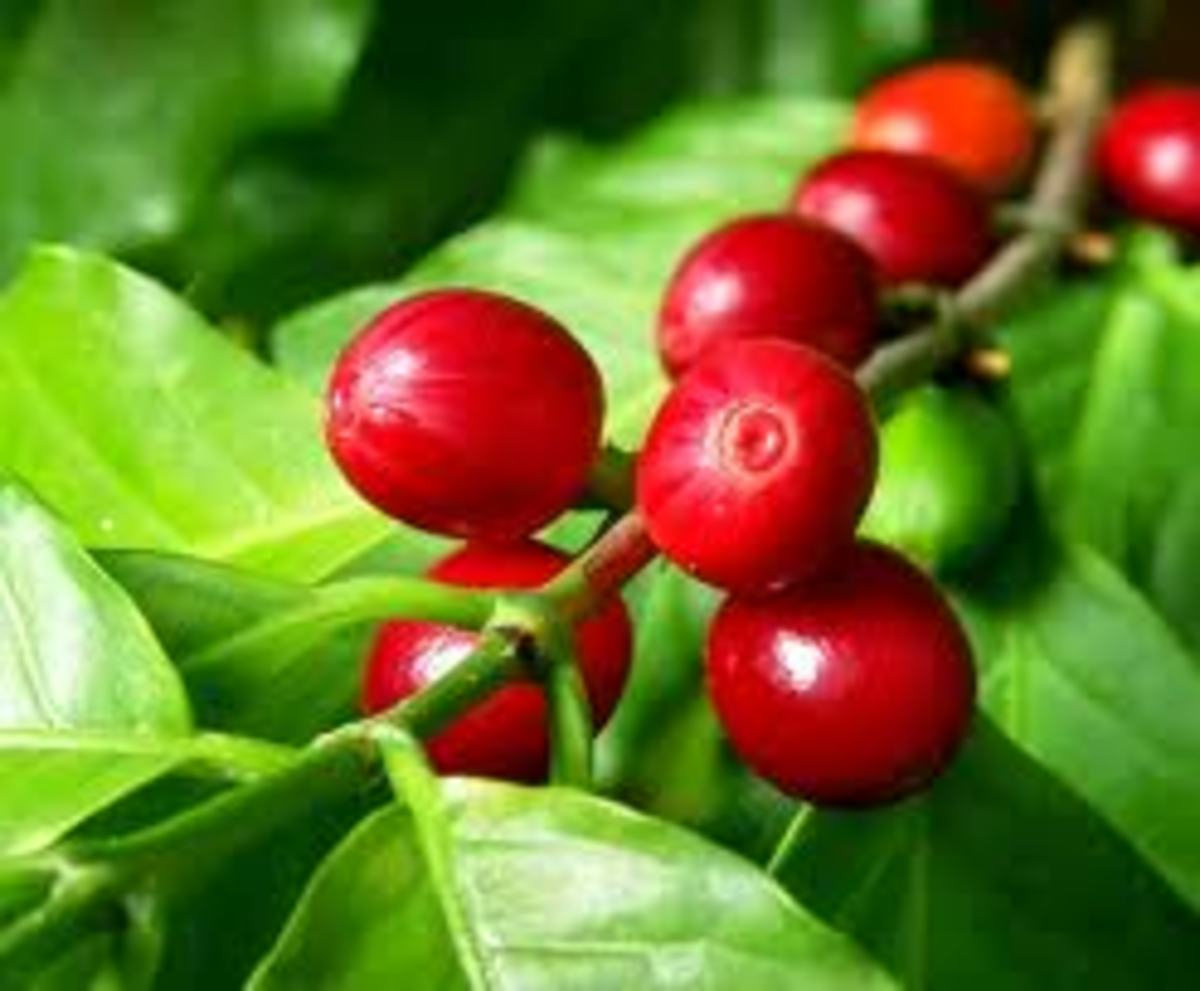Kona Coffee is harvested between July and December.