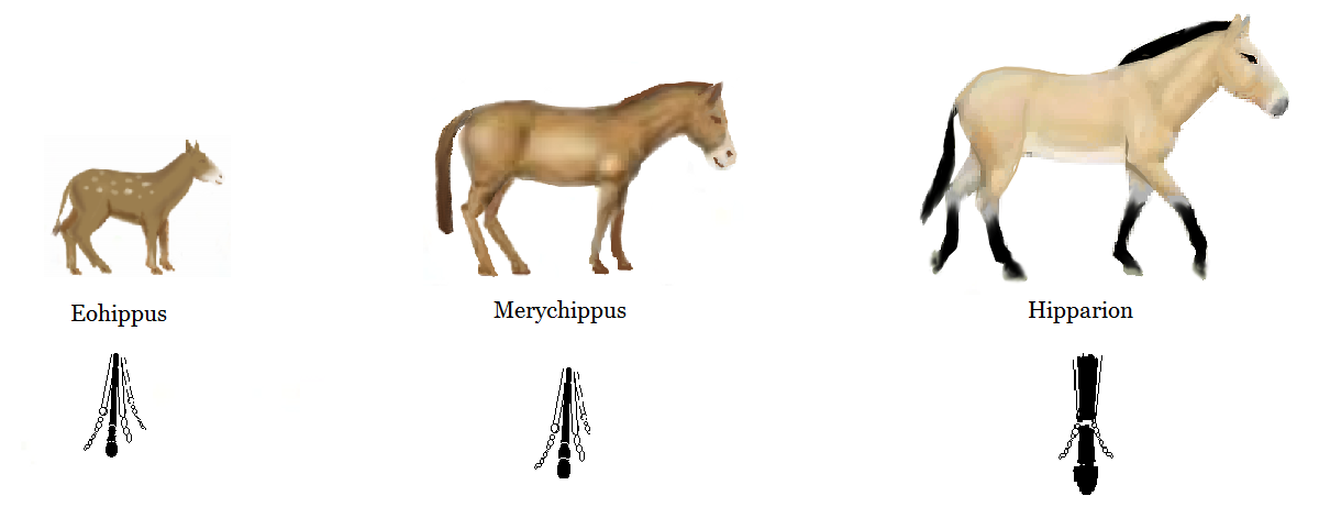 Eohippus, Merychippus and Hipparion