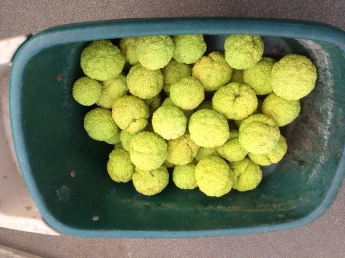 Collect various sizes of Hedge Apples