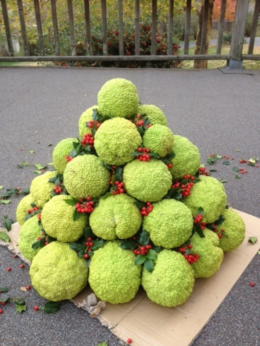 What can you do with hedge apples - outdoor Christmas decorations