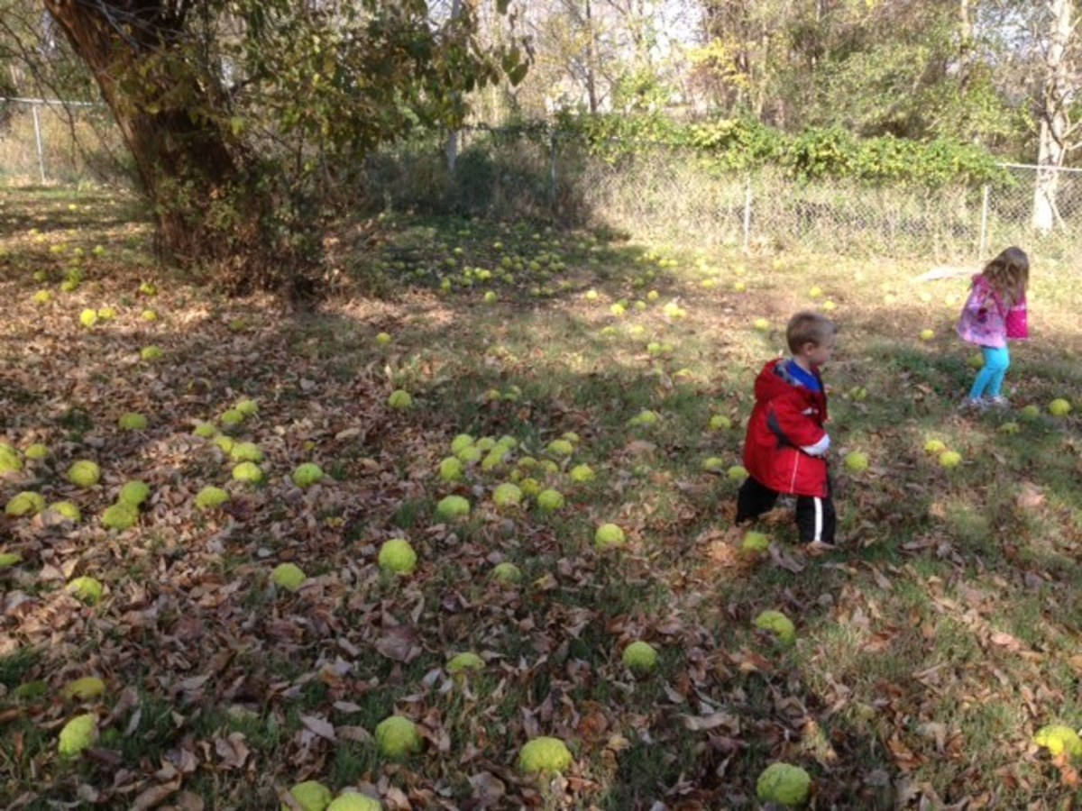 Picture of Hedge Apples from an Osage Orange