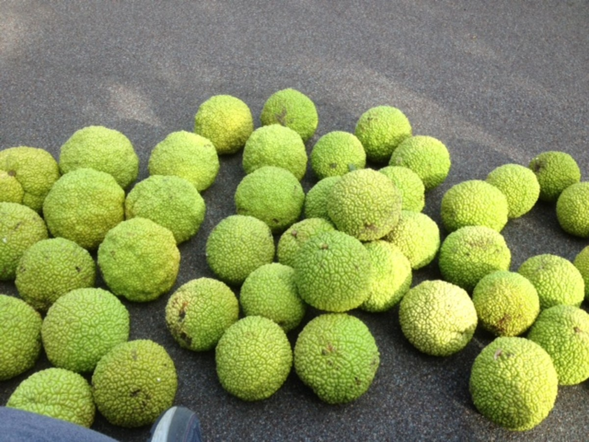 Sorting Hedge Apples into size categories
