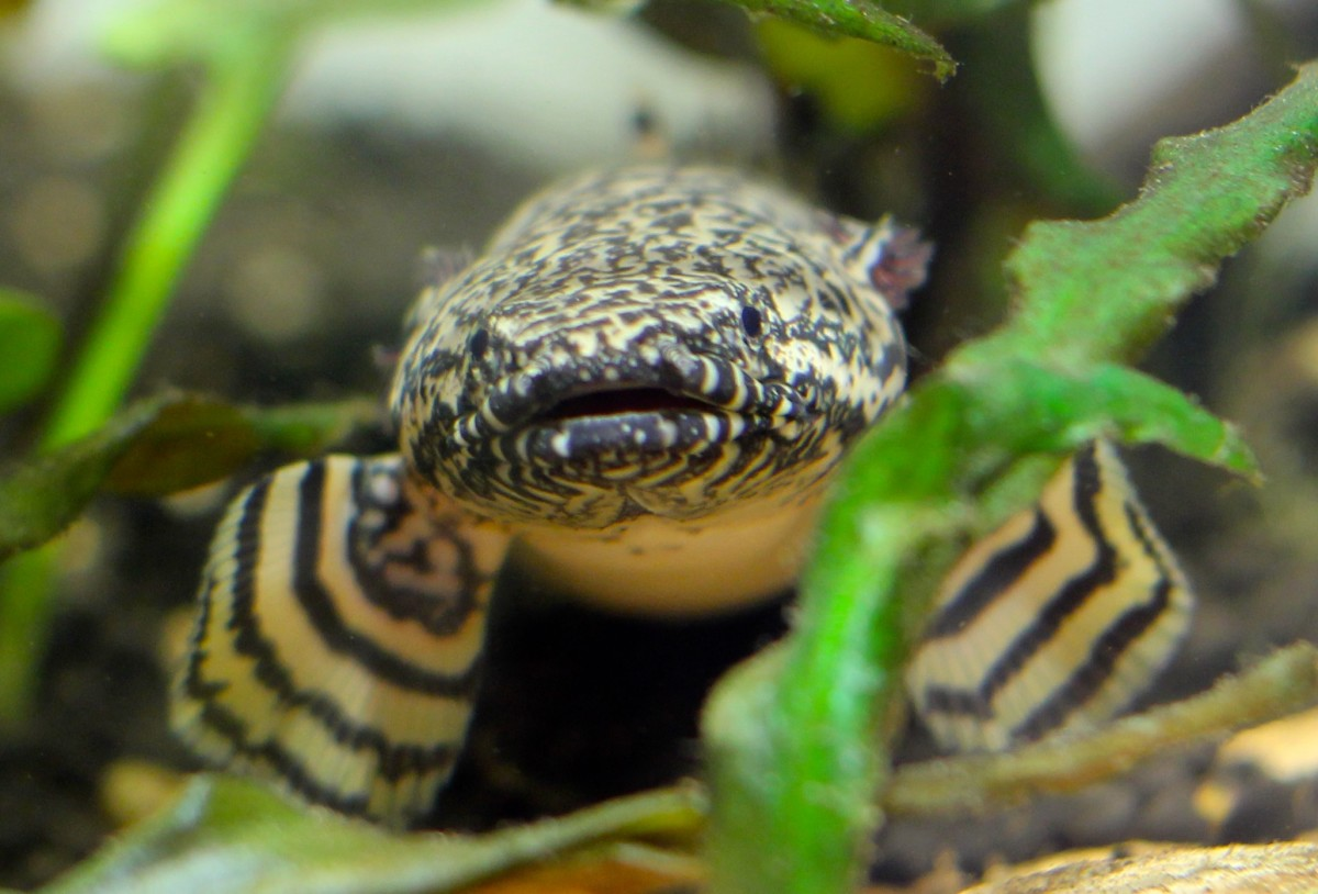 Polypterus ornatipinnis- Living With A Living Fossil