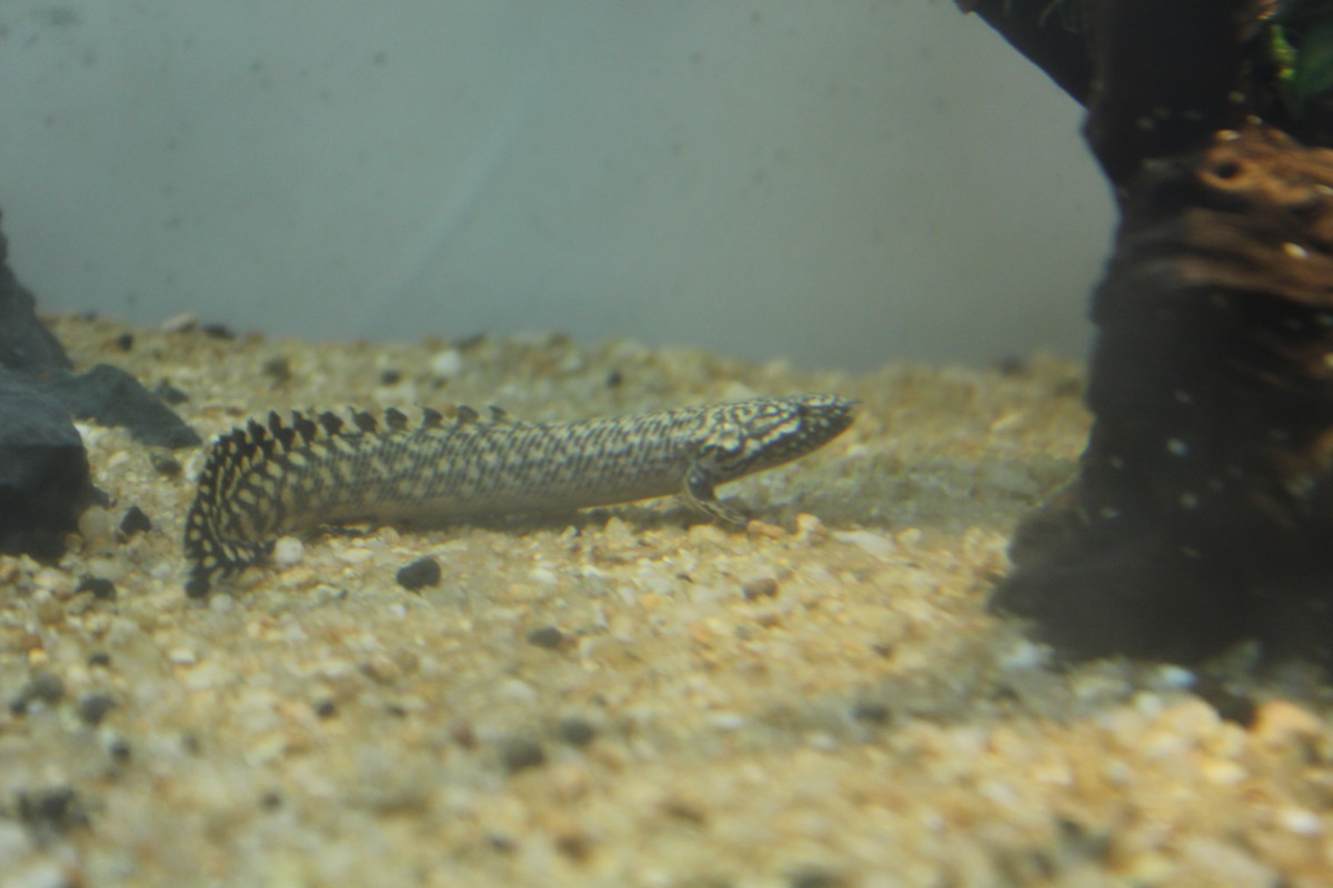 My Leopard Senegal Bichir on a rare outing