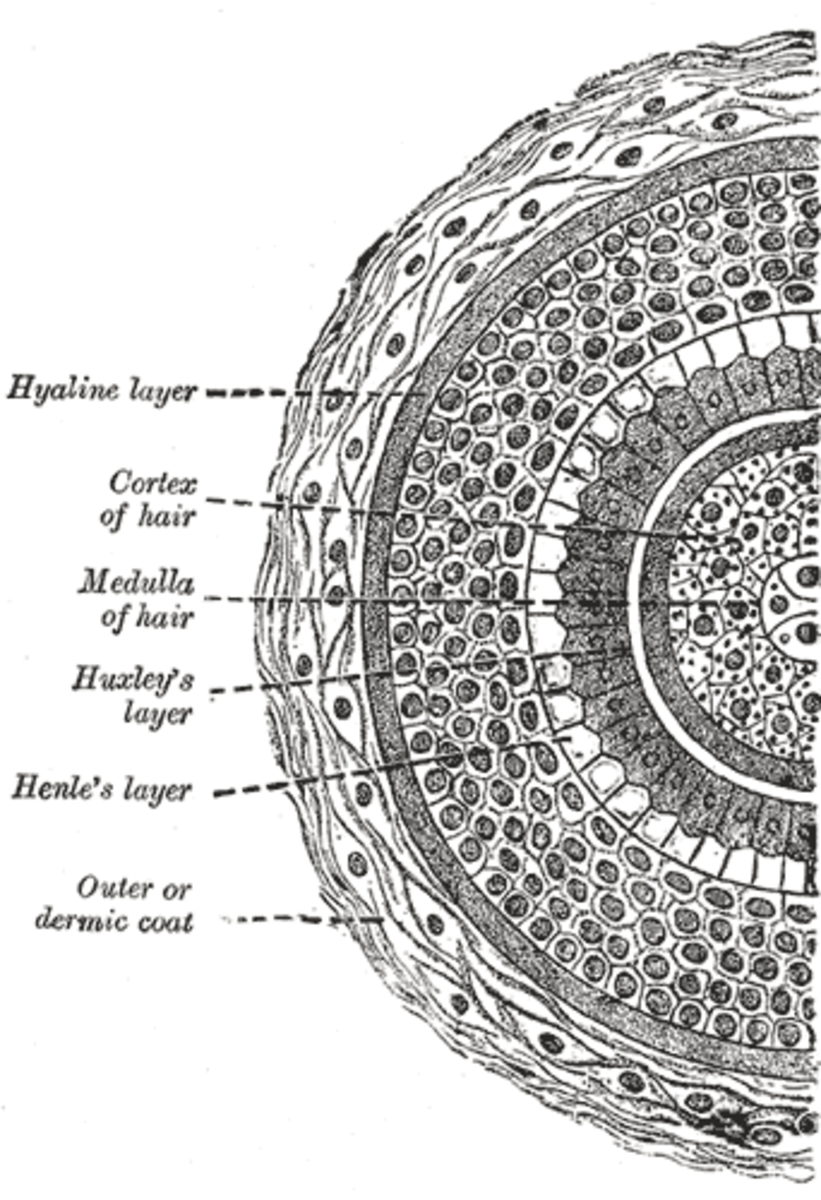 Hair Science Hair Structure 101 With Diagrams Hubpages