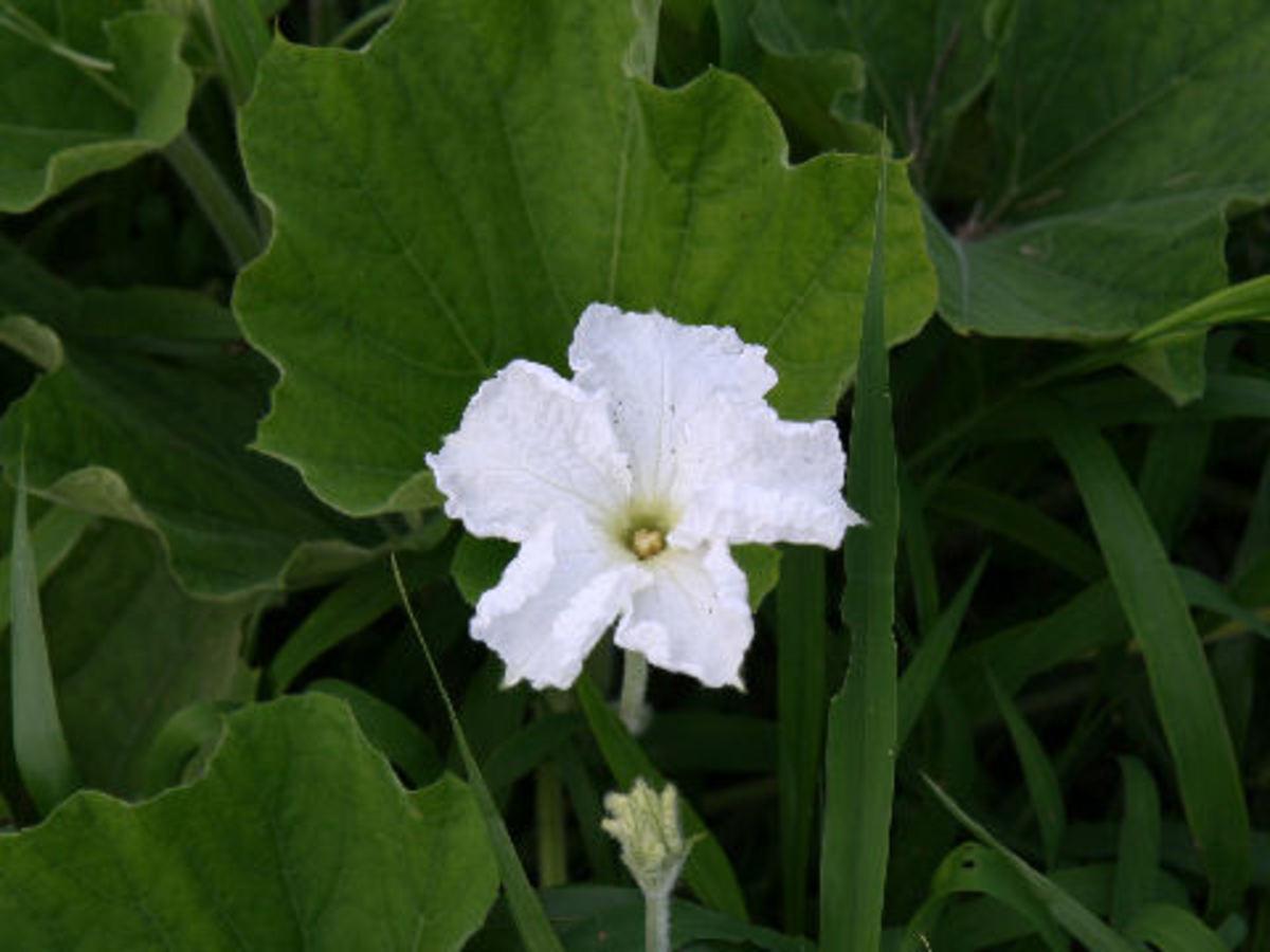 white bottle gourd flower