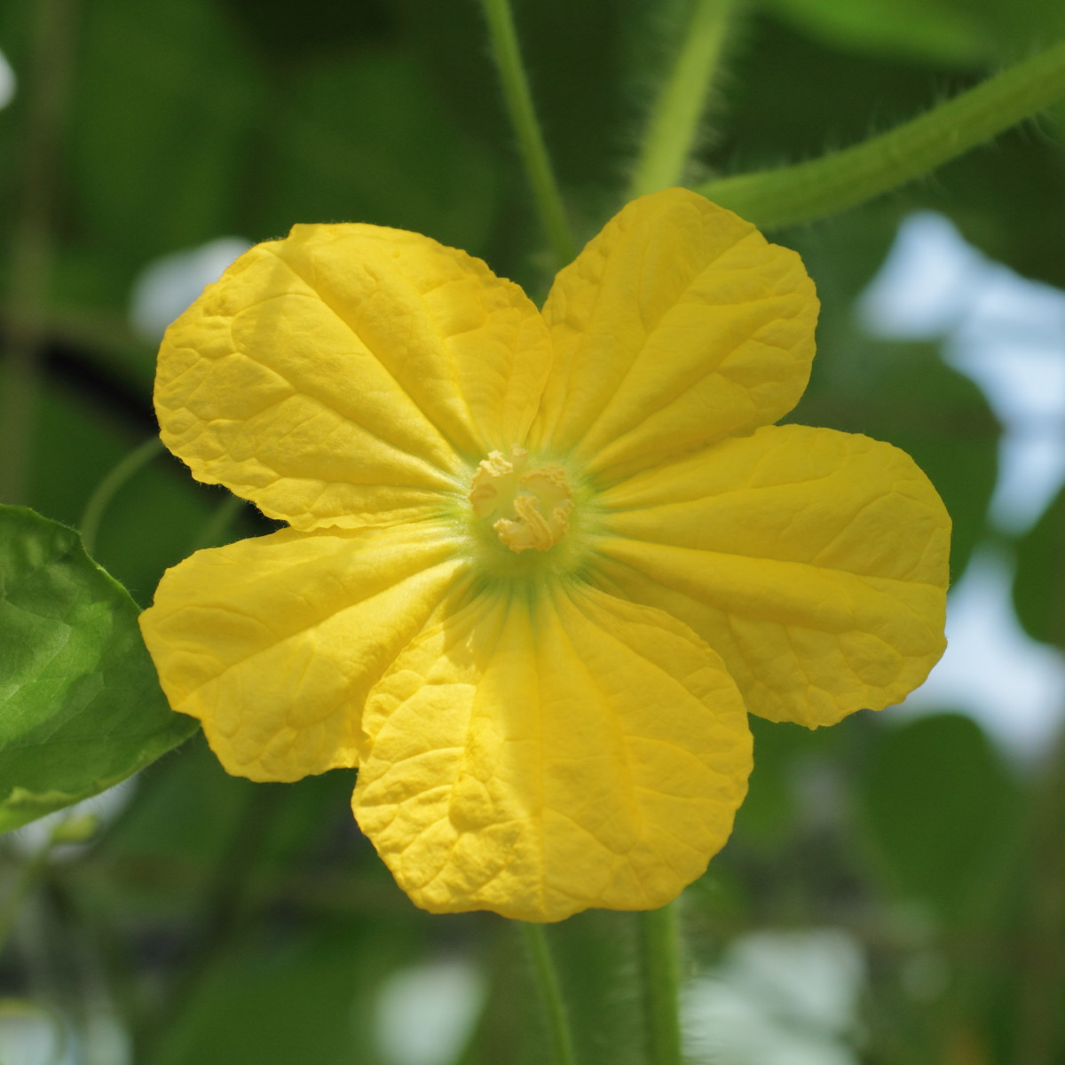 yellow bottle gourd flower