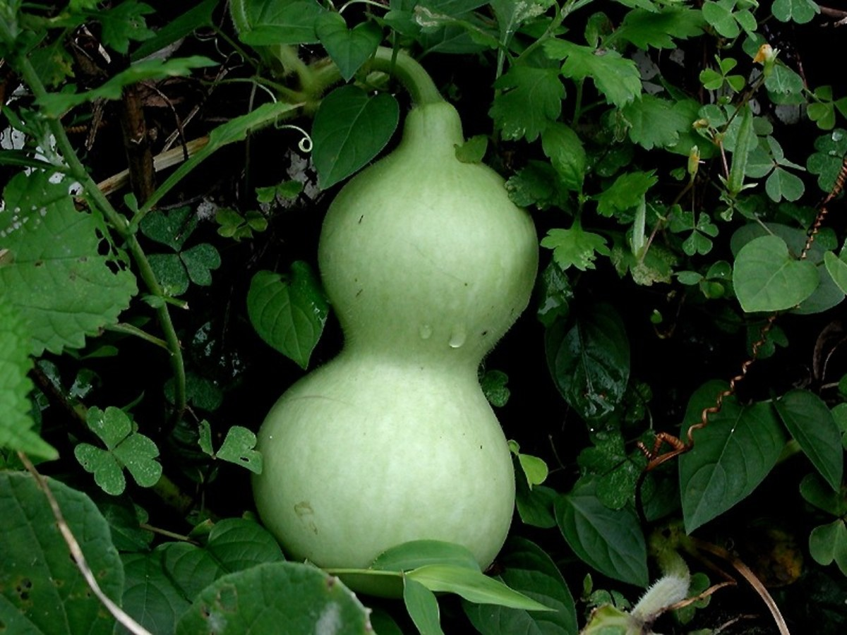 Health Benefits Of Lauki or Bottle Gourd