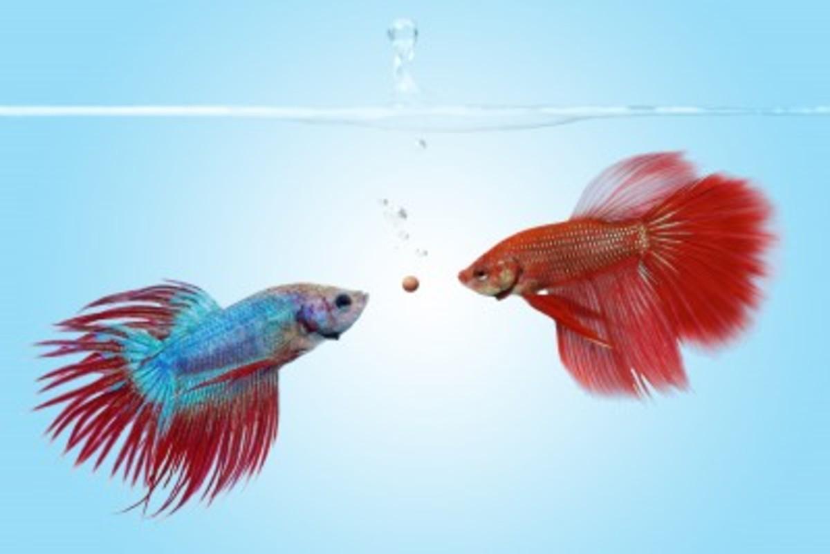 Betta fish aquarium tankmates for Tank mates for betta fish