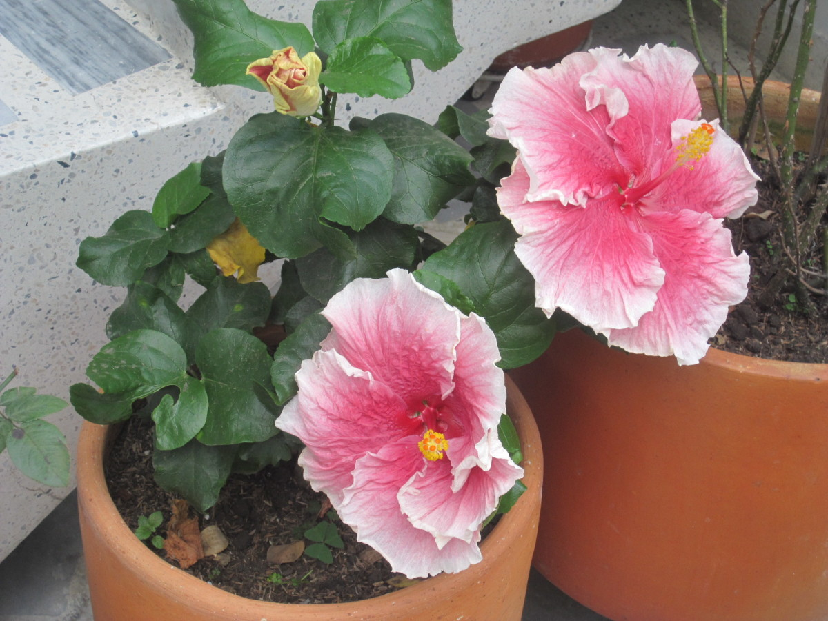 These are on my patio and are at least 8 inches in diameter