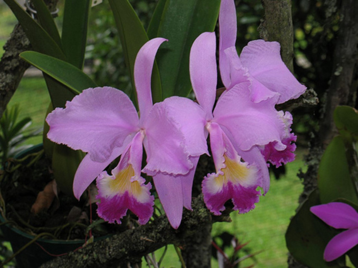 Orchid, the national flower of Colombia