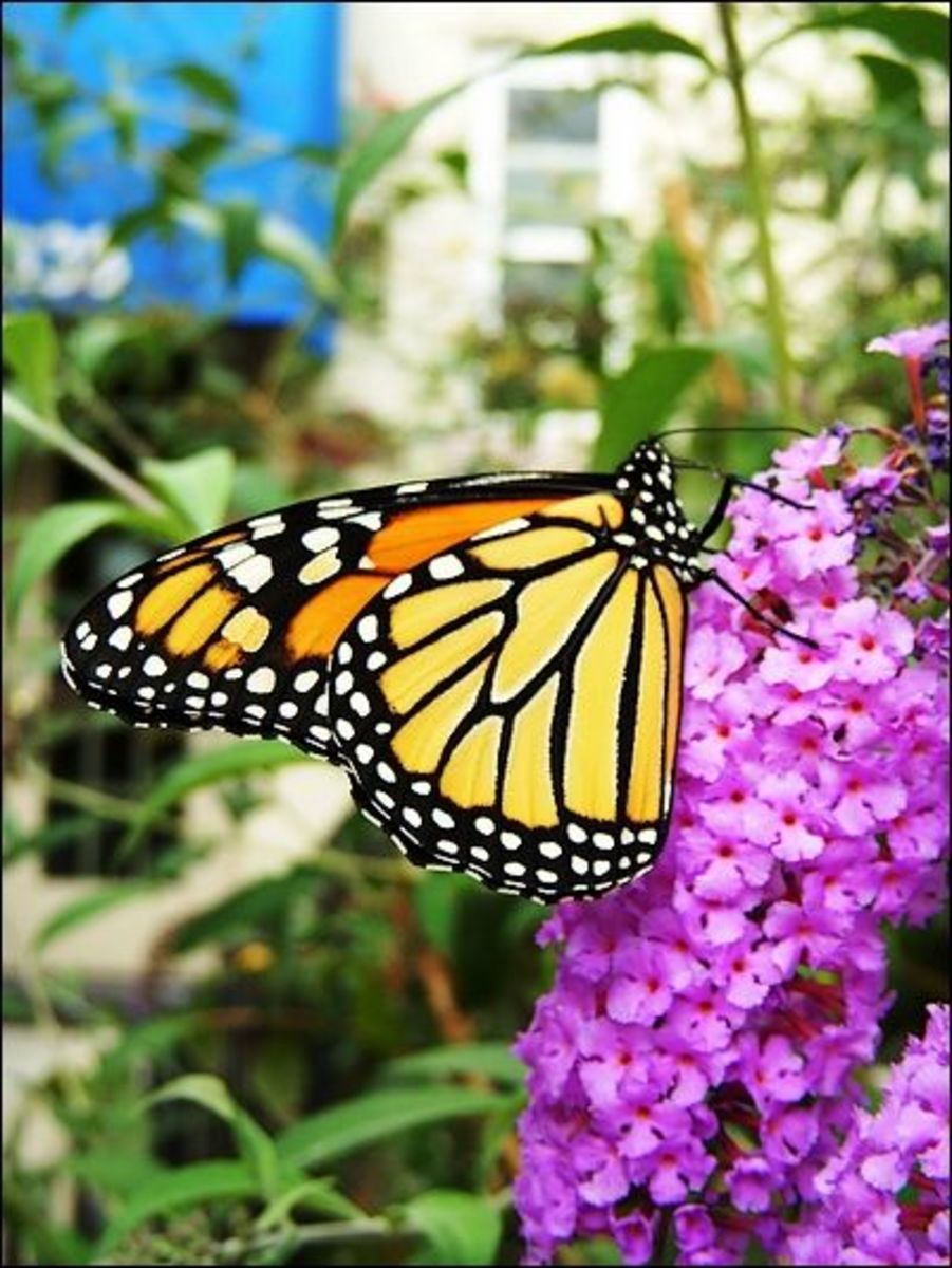 image credit - a photo of a monarch by krosseel -courtesy of Morguefile