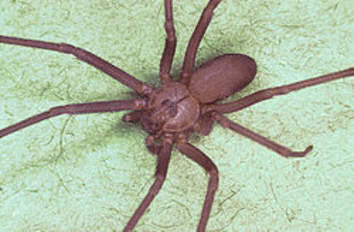 The Brown Recluse Or Violin Spider