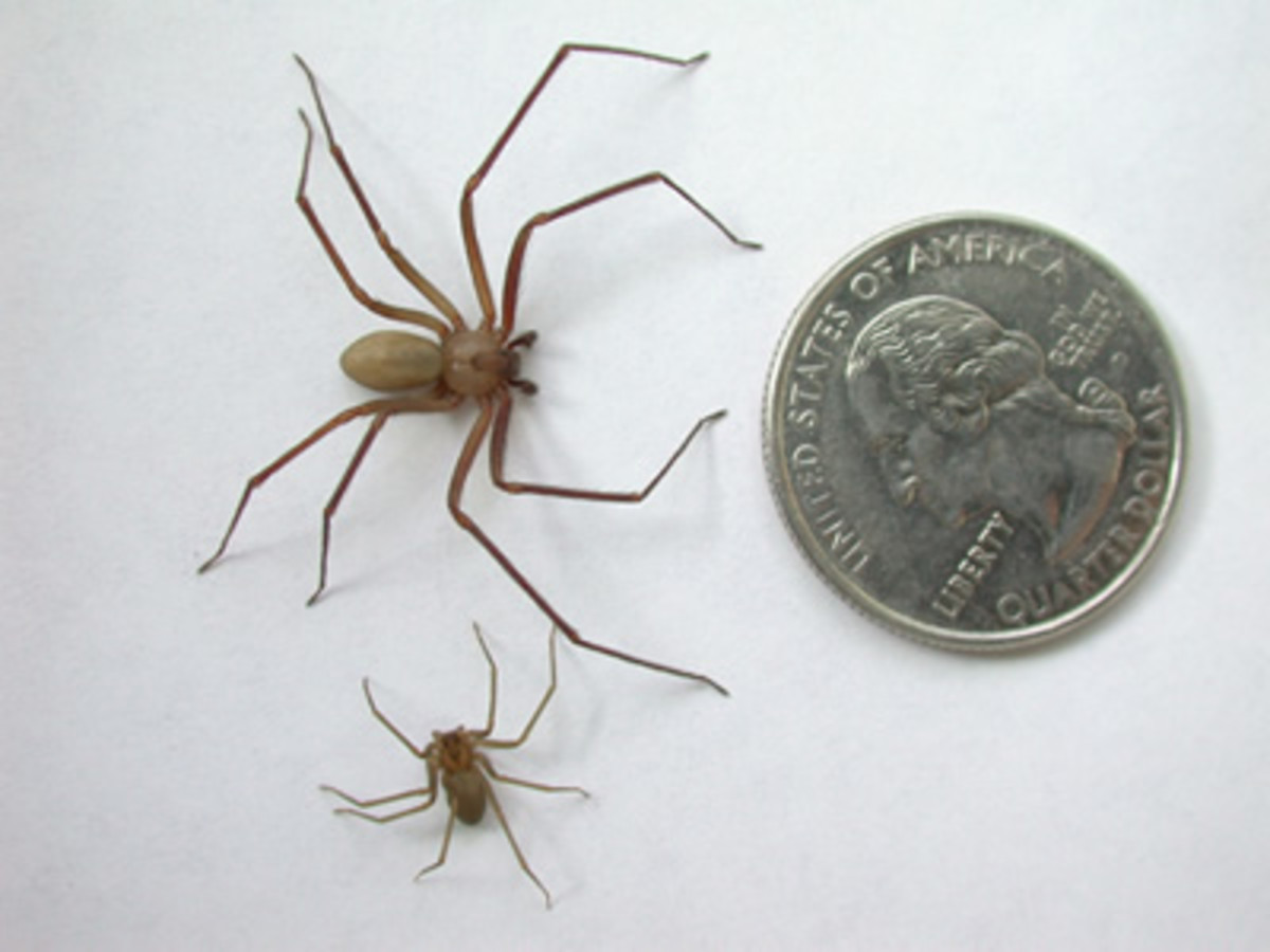 Brown recluse size comparison