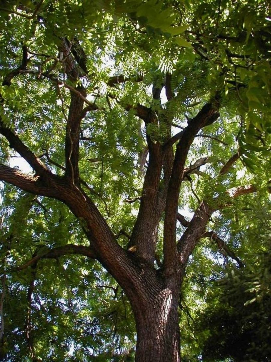 American Walnut tree (purple wood)