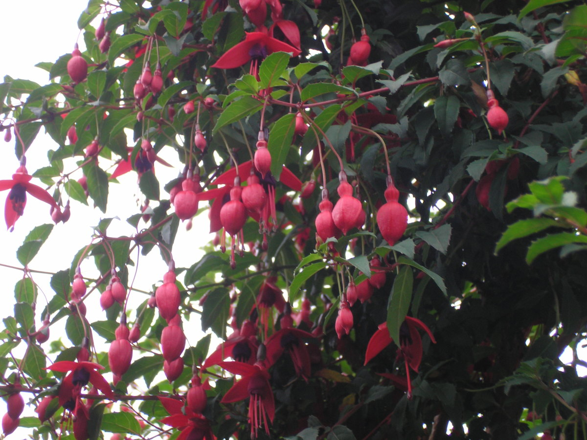 Your Fuchsia is more than just a stunning flower, it has a fruit that is edible.