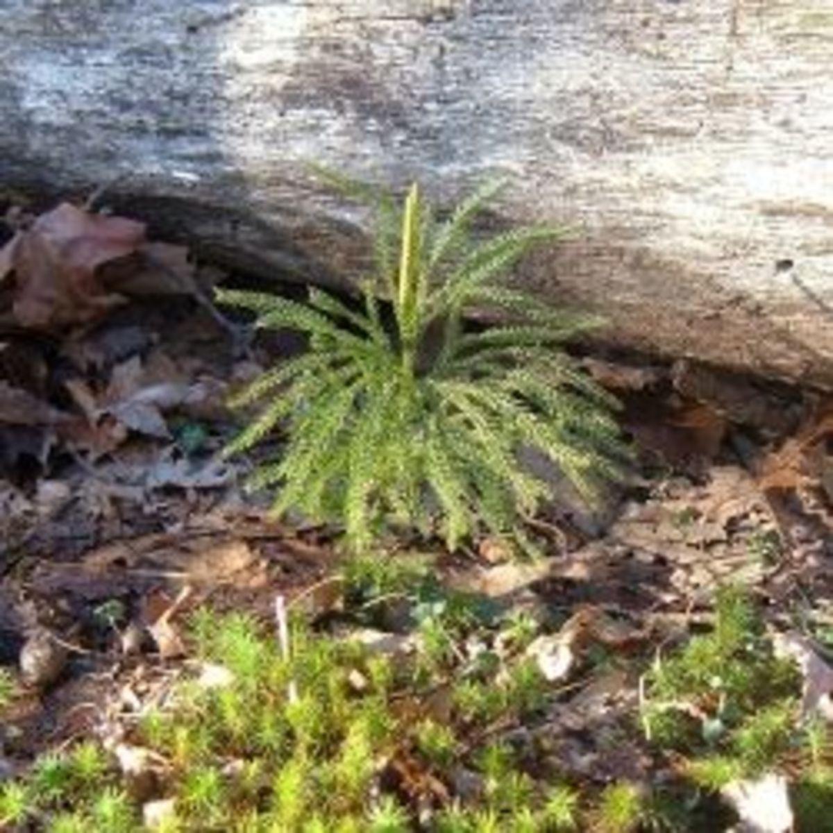 Petite Princess Pine
