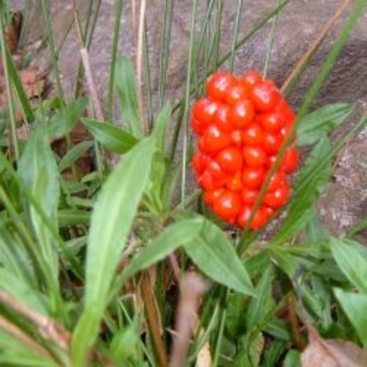 Jack-in-the-Pulpit Seed Pod